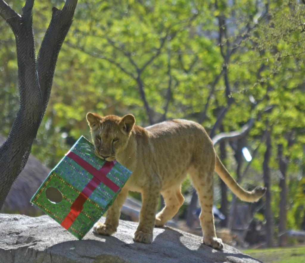 BIOPARC Valencia - La leona SHANGA cumple 1 año (3)