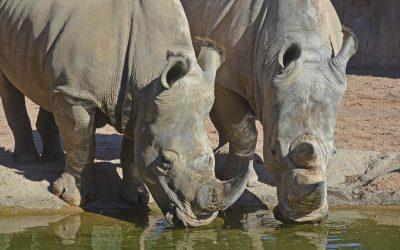 Rinocerontes blancos  en BIOPARC Valencia 2016