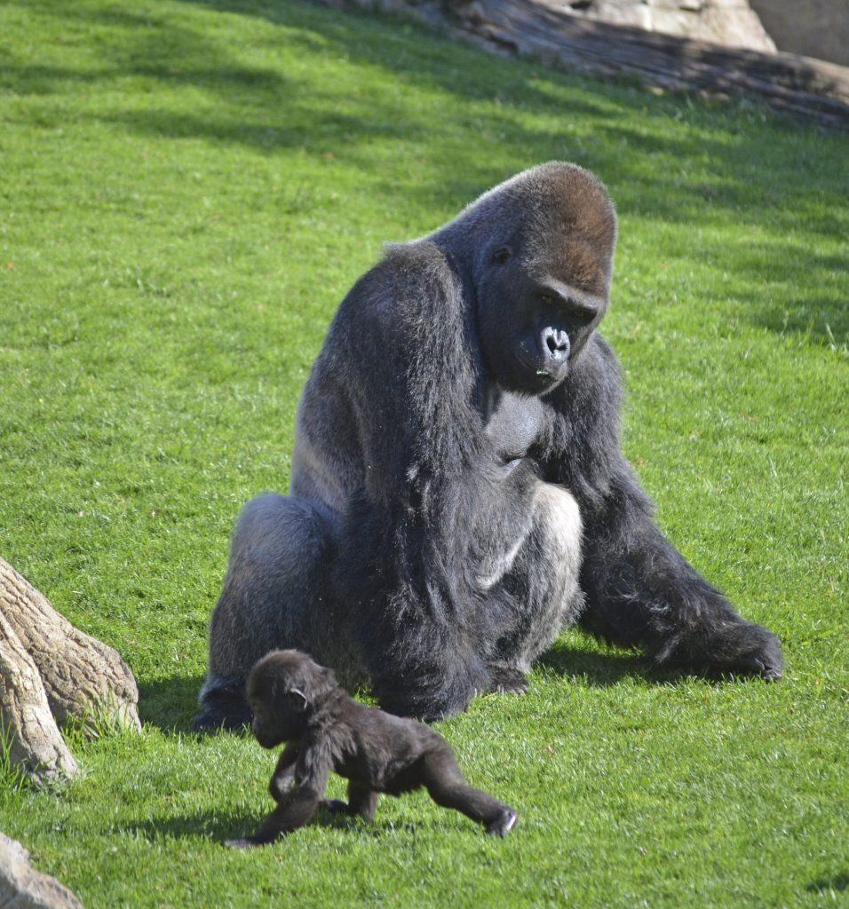 mayo-2017-bioparc-una-experiencia-salvaje-gorilas